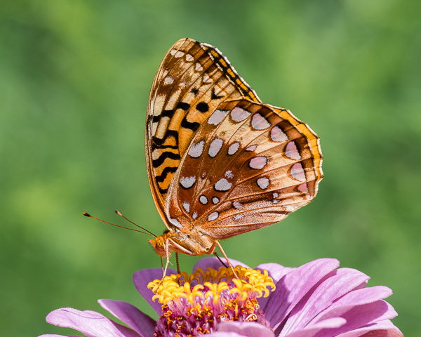 Great Spangled Fritillary on Garden Flower