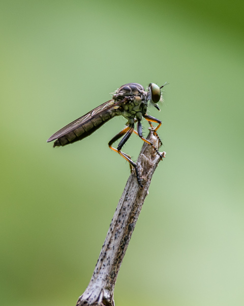 Robberfly #1