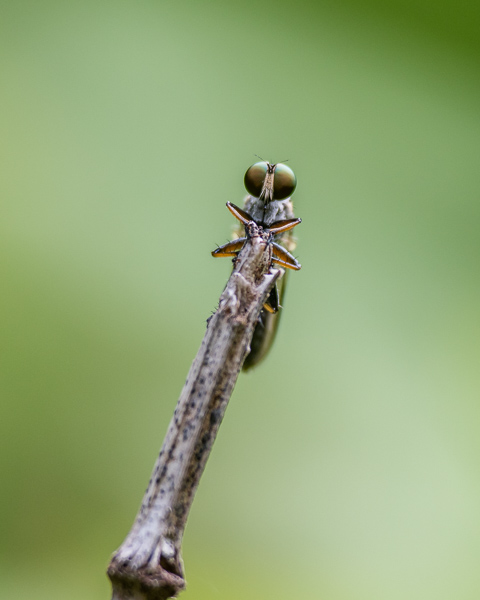 Robberfly #2