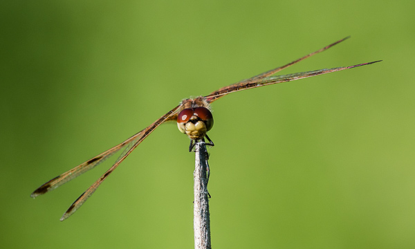 Calico Pennant #1