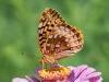Great Spangled Fritillary on Garden Flower