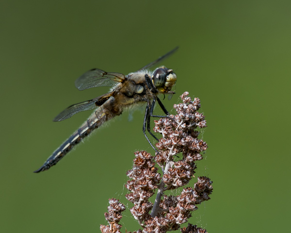 Four-spotted Skimmer with Prey