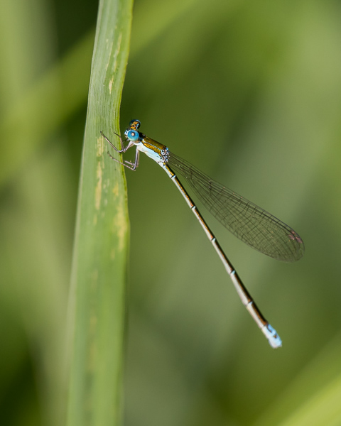 Sedge Sprite (male)