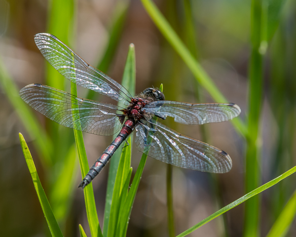 Hudsonian Whileface (male)