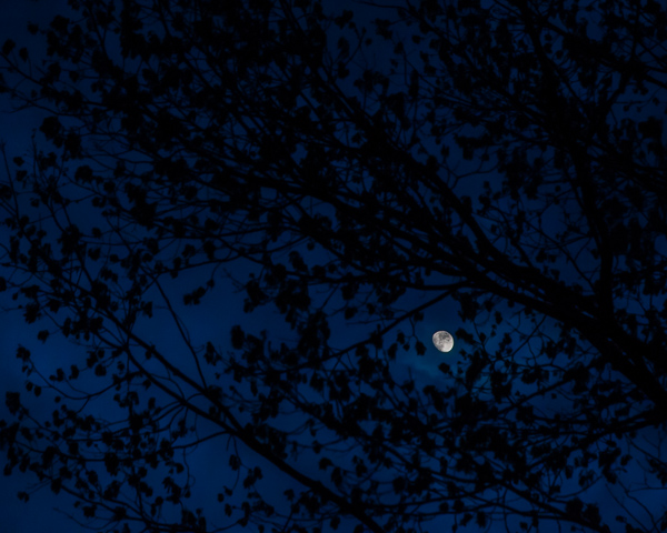 Moon Through Early Oak Leaves