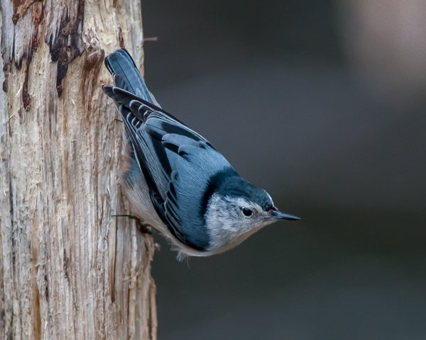 White-breasted Nuthatch#2