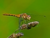 Female Meadowhawk