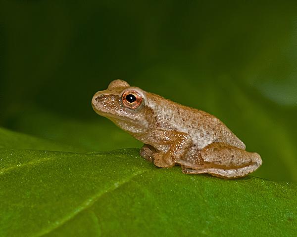 Wood Frog (immature) ?