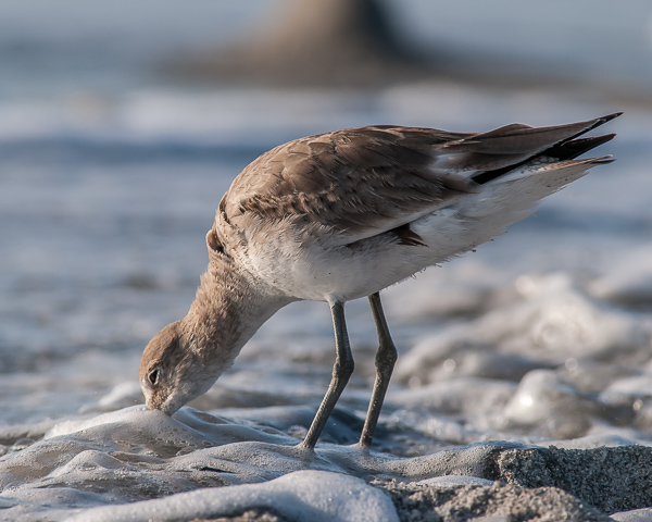 Willet Foraging (Captive Island)