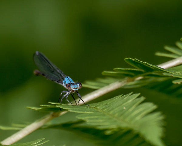 Blue-fronted Dancer (blue-form female) -- I think!
