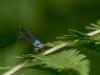 Blue-fronted Dancer (blue-form female) -- I think!