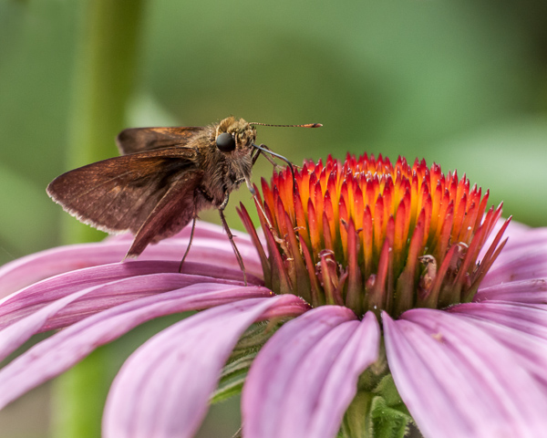 Purple Cone Flower & Visitor