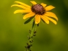 Black-eyed Susan with Visiting Committee