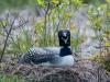 Common Loon on Nest #1