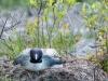 Common Loon on Nest (Hiding Posture)