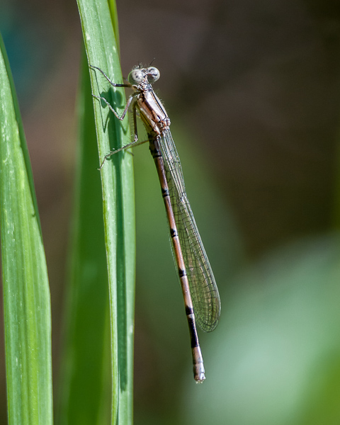 Teneral Damselfly (possibly a variable dancer)