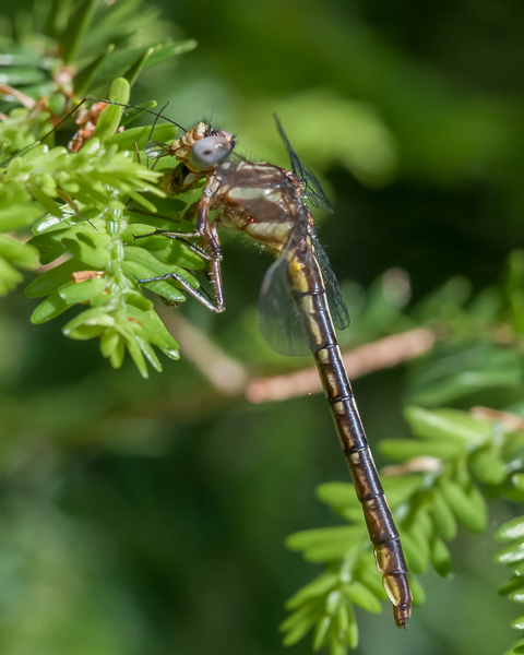 Lancet Clubtail (?) with Prey