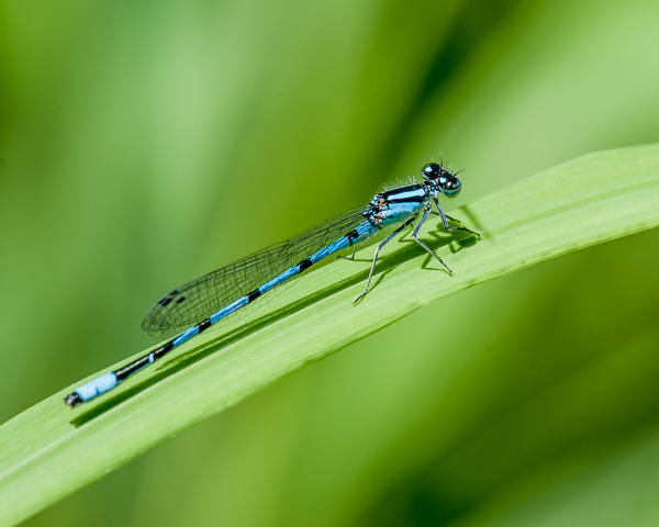 Tule Bluet (male) ?