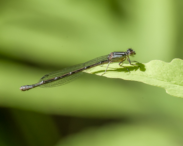 Tule Bluet (female) ?