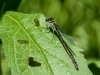 Familiar Bluet (female) ?