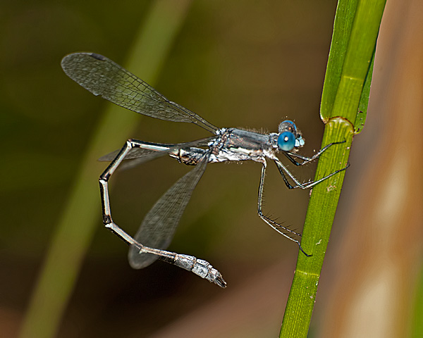 Spreadwing sp.