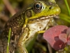 Green Frog #3