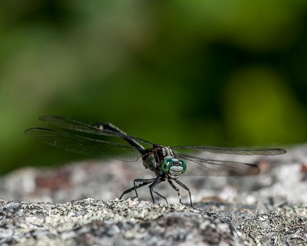 Black-shouldered Spinyleg (male) ? #3