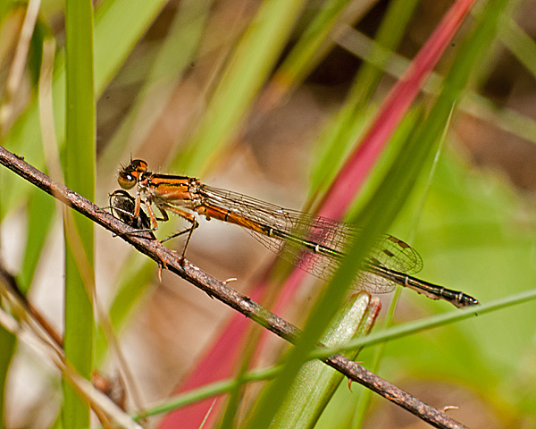 Eastern Forktail (immature male) with Prey