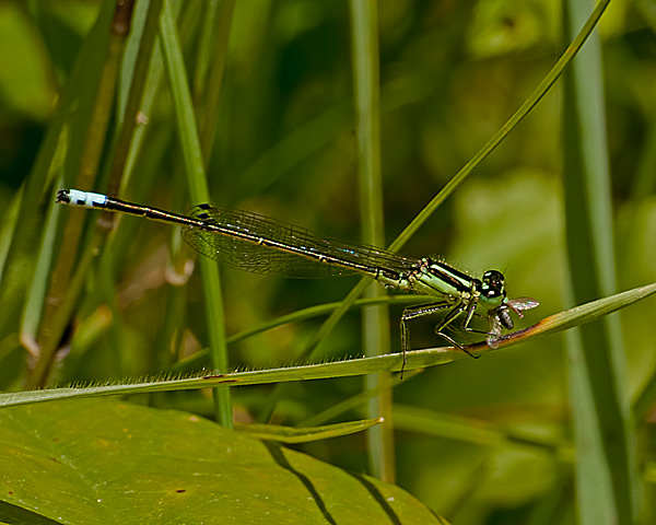 Eastern Forktail (male) with Prey