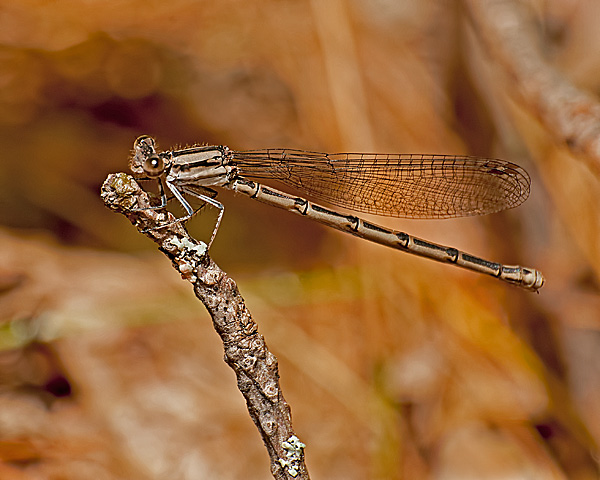 Variable Dancer (female)
