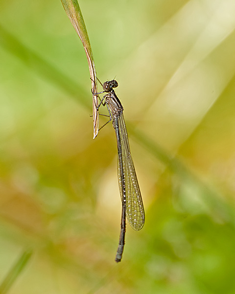 Damselfly (teneral) ID needed