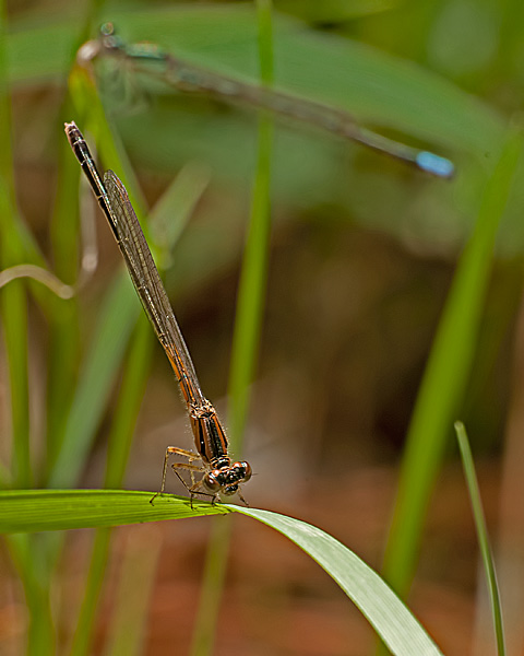 Eastern Forktail (immature male)