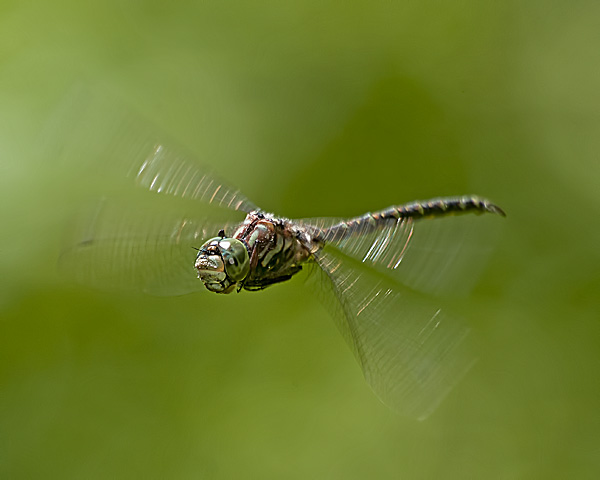 Harlequin Darner (male)