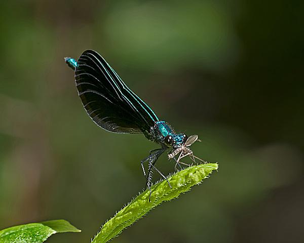 Ebony Jewlwing (male) with Prey