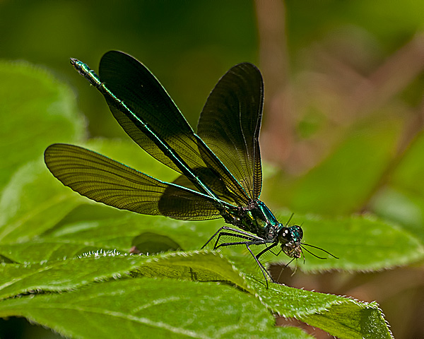 Ebony Jewlwing (male) with Prey