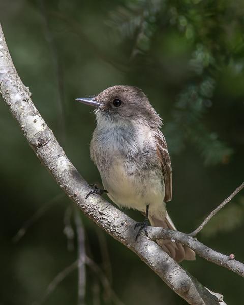 Olive-sided Flycatcher #1