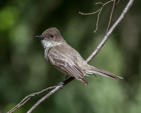 Olive-sided Flycatcher #2