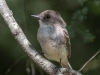 Olive-sided Flycatcher #1