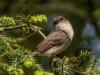 Olive-sided Flycatcher #3