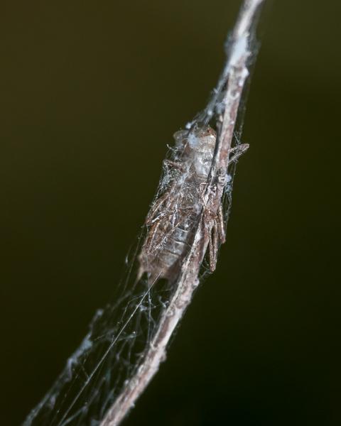 Dragonfly Exuvia #1