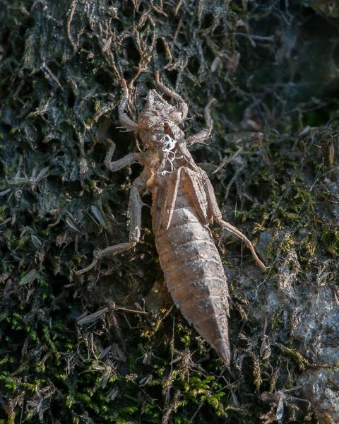 Dragonfly Exuvia #2