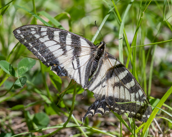 Very worn Swallowtail