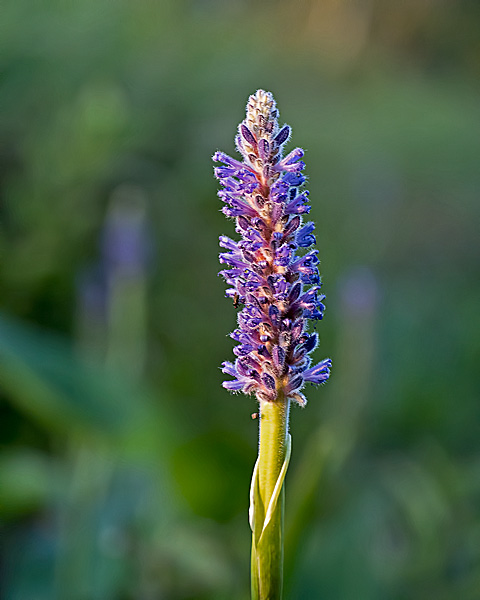 Pickerel Weed #1