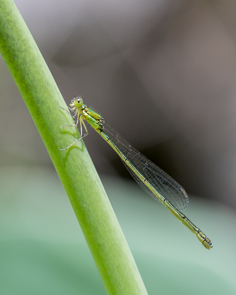 Damselfly (ID Needed(