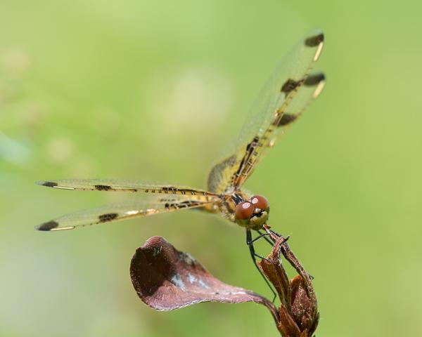 Calico Pennant (female)