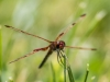 Calico Pennant (male) Grooming