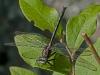 Dusky Clubtail (male)