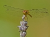 Meadowhawk (female, exact specied unknown)