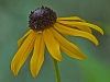 Black-eyed Susan with Guest