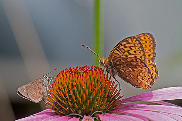 Great Spangled Fritillary and Friend